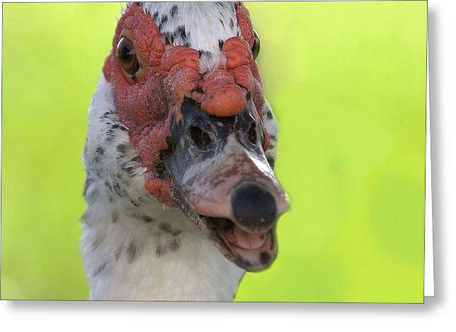 Muscovy Duck Greeting Card by Rudy Umans