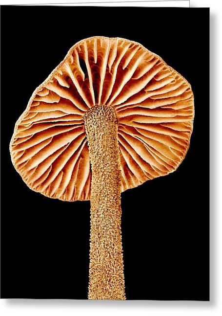 Fungi Greeting Cards - Mushroom, SEM Greeting Card by Science Photo Library