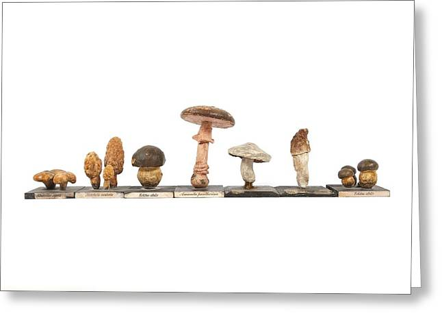 Fungal Greeting Cards - Mushrooms, historical model Greeting Card by Science Photo Library