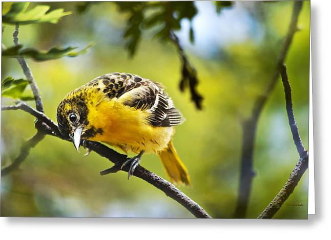 Oriole Greeting Cards - Musing Baltimore Oriole Greeting Card by Christina Rollo