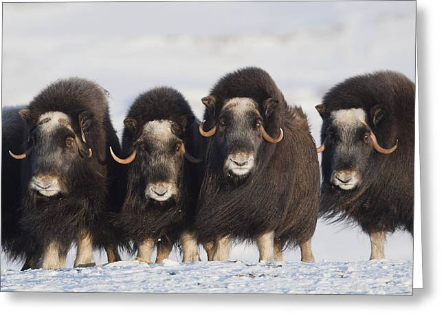 Nome Greeting Cards - Musk-ox Cows In A Defensive Lineup Greeting Card by Milo Burcham