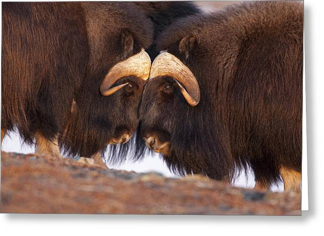 Musk Greeting Cards - Musk Ox Head to Head Greeting Card by Tim Grams
