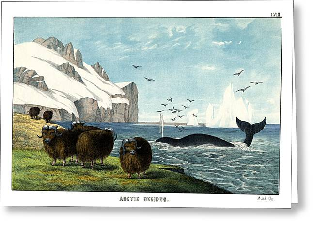 Whale Drawings Greeting Cards - Musk Ox Greeting Card by Splendid Art Prints