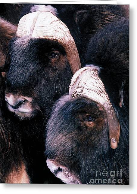 Musk Greeting Cards - Musk Oxen Greeting Card by Art Wolfe