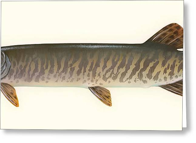 Muskie Greeting Cards - Muskellunge  Greeting Card by Mountain Dreams