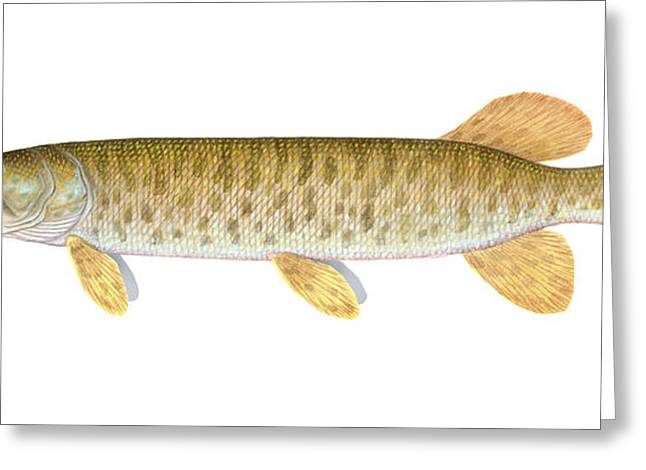 Muskie Greeting Cards - Muskie Greeting Card by Carlyn Iverson