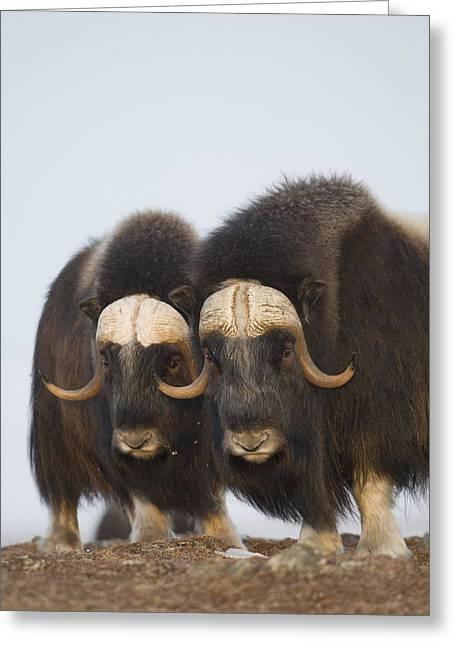 Nome Greeting Cards - Muskox Bulls On Windswept Ridge Greeting Card by Milo Burcham
