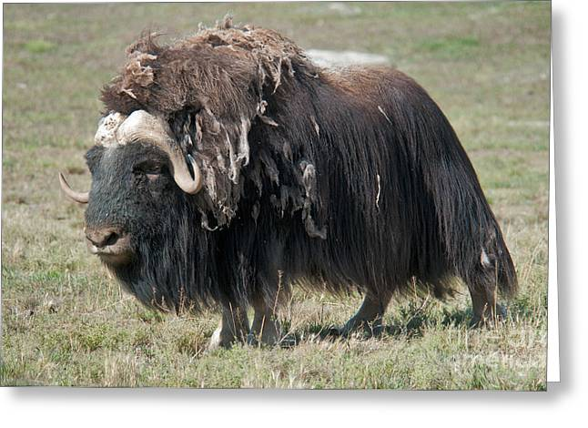 Shed Greeting Cards - Muskox Shedding Winter Coat Greeting Card by Mark Newman