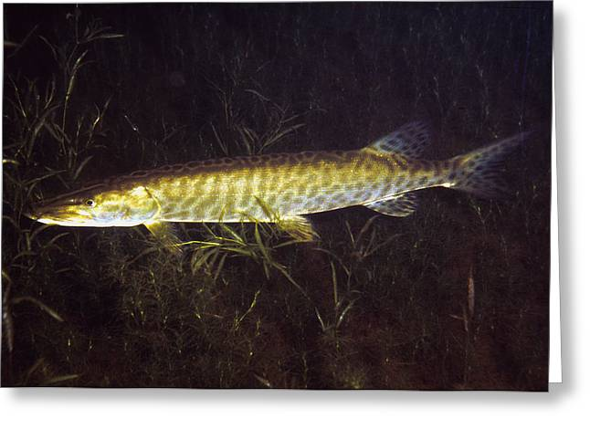 Muskies Greeting Cards - Musky at Night Greeting Card by Doug Stamm
