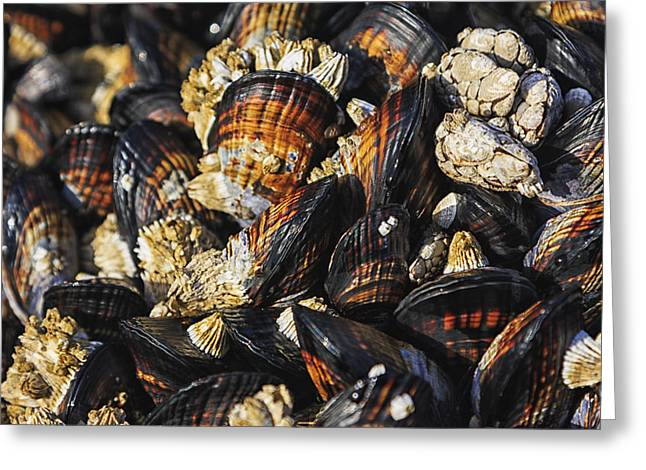 Crustacean Greeting Cards - Mussels and Barnacles Greeting Card by Mark Kiver