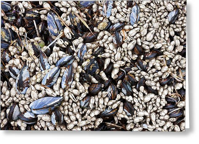 Mussels And Barnacles, Olympic National Greeting Card by Art Wolfe