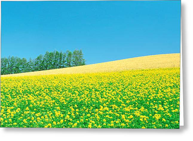 Flower Blooms Greeting Cards - Mustard Field With Blue Sky Greeting Card by Panoramic Images