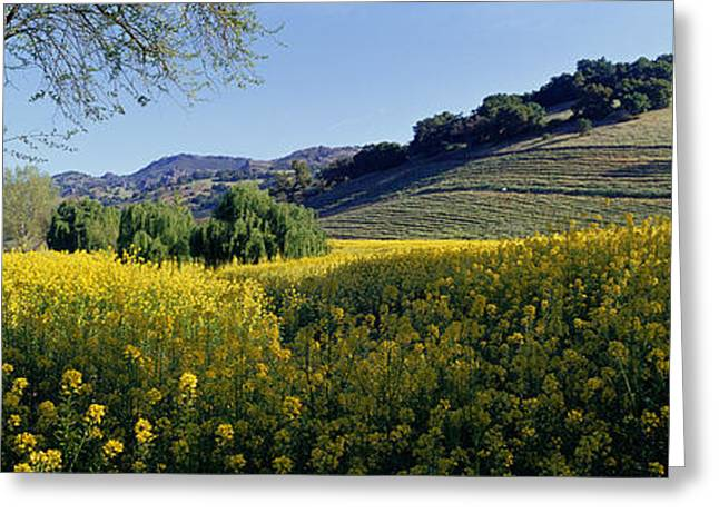Pasture Scenes Greeting Cards - Mustard Flowers In A Field, Napa Greeting Card by Panoramic Images
