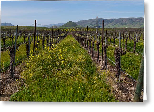 San Luis Obispo Greeting Cards - Mustard Plants Growing In A Vineyard Greeting Card by Panoramic Images