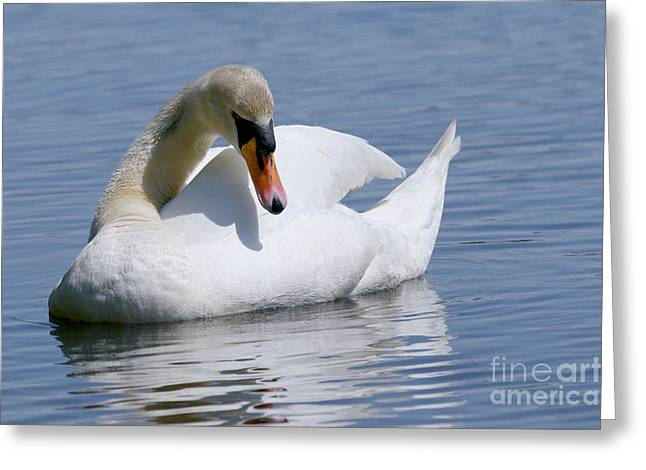Orange Beak Greeting Cards - Mute Swan 1 Greeting Card by Sharon  Talson
