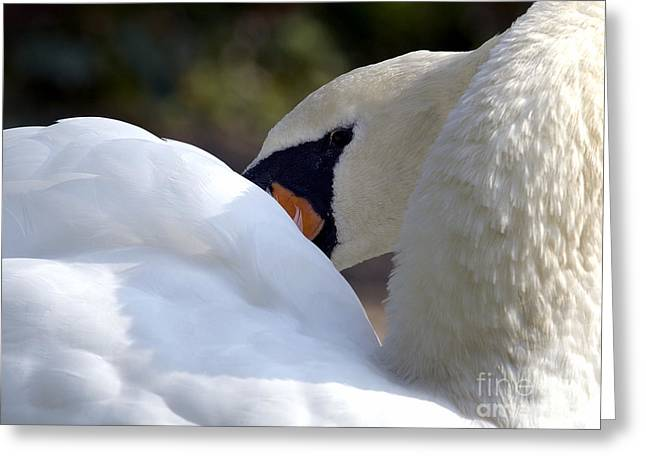 Muted Greeting Cards - Mute Swan 2a Greeting Card by Sharon  Talson