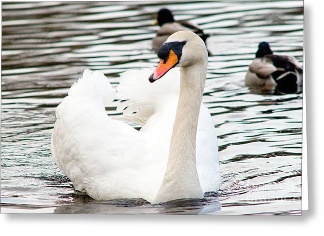 Muted Greeting Cards - Mute Swan 5 Greeting Card by Terry Elniski