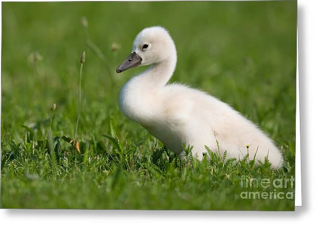 Muted Greeting Cards - Mute Swan Cygnet Greeting Card by Frank Derer