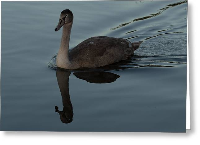 Fauna Greeting Cards - Mute Swan Cygnet Greeting Card by Robert Carr