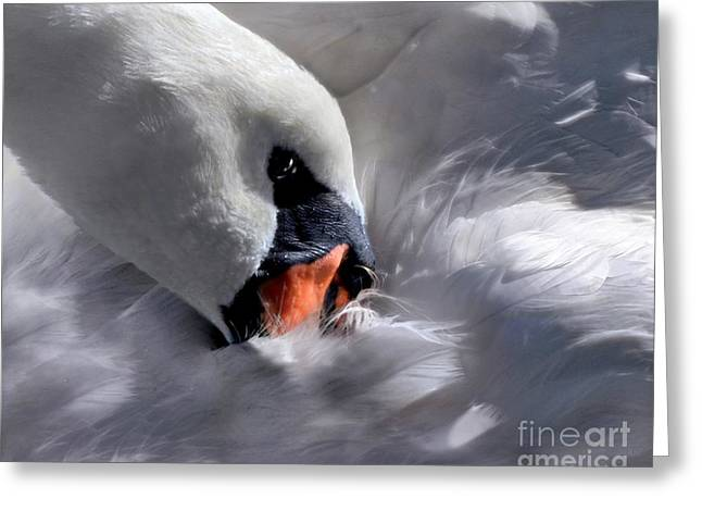 Swans... Greeting Cards - Mute Swan Greeting Card by Dale   Ford