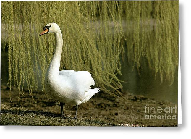 Muted Greeting Cards - Mute Swan Greeting Card by Okapia