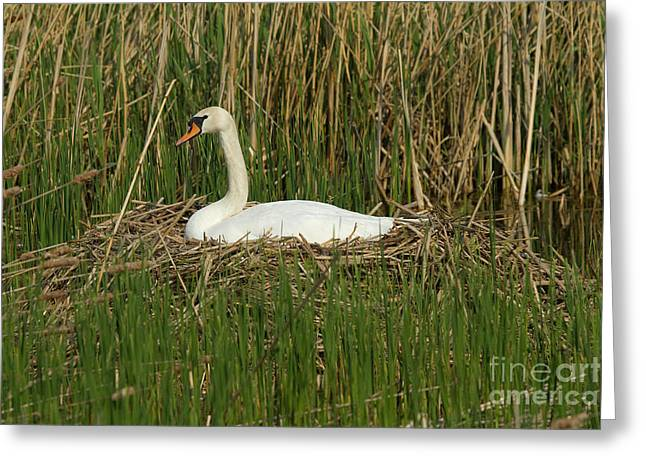 Muted Greeting Cards - Mute Swan On Nest Greeting Card by Helmut Pieper