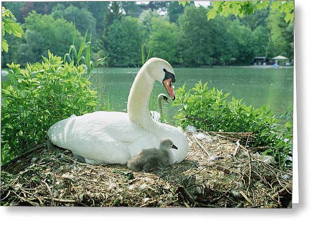 Three Chicks Greeting Cards - Mute Swan Parent And Chicks On Nest Greeting Card by Konrad Wothe