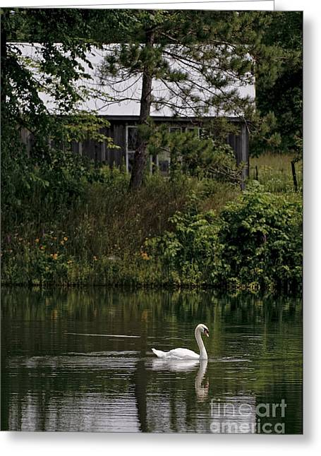 Swans... Greeting Cards - Mute Swan Pictures 199 Greeting Card by World Wildlife Photography