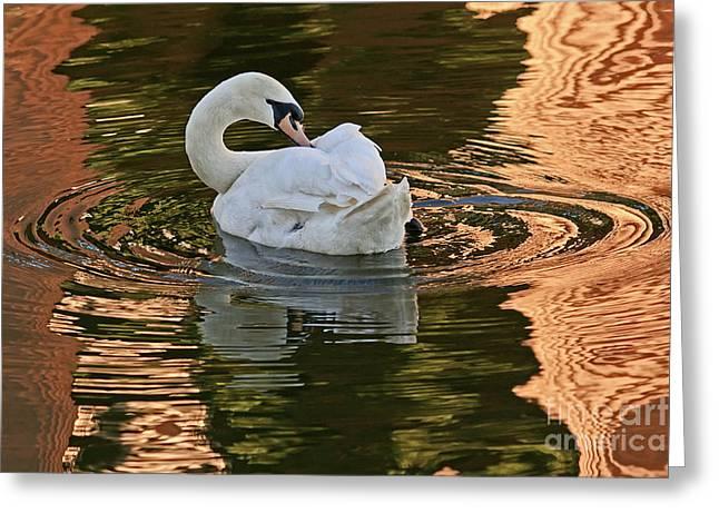 Kate Brown Greeting Cards - Mute Swan Preening Greeting Card by Kate Brown