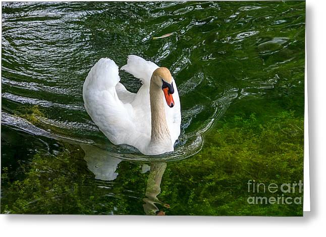 Male Pyrography Greeting Cards - Mute Swan Greeting Card by Rebecca Brooks