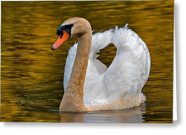 Swan Greeting Cards - Mute Swan Greeting Card by Susan Candelario