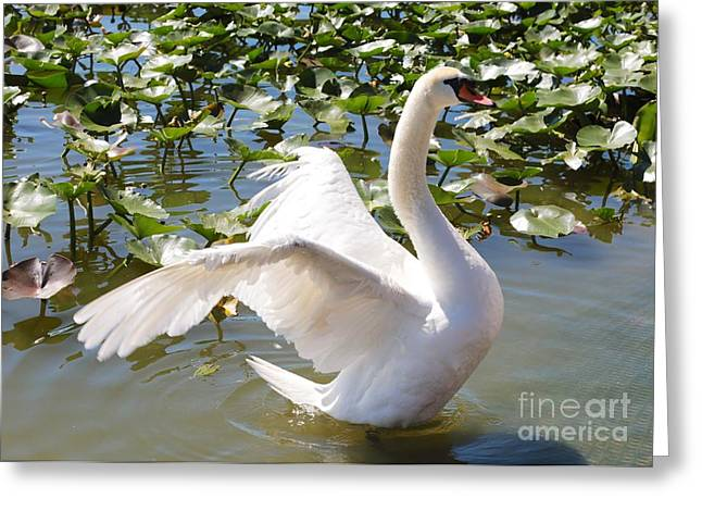 Mute Swan Wings Greeting Card by Carol Groenen
