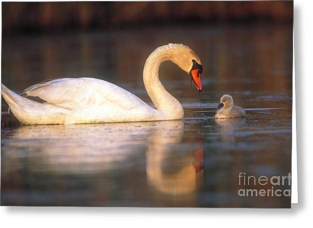 Muted Greeting Cards - Mute Swan With Cygnet Greeting Card by Art Wolfe