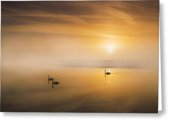 Muted Mauve Greeting Cards - Mute Swans at Dawn Greeting Card by Adrian Campfield
