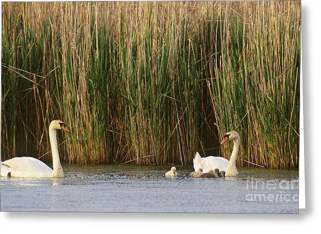 Water Fowl Greeting Cards - Mute Swans Cygnus Olor With Young Greeting Card by Art Wolfe
