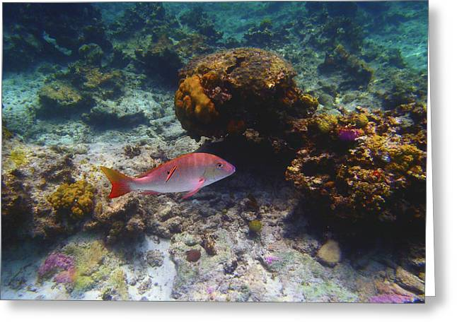 Mutton Snapper Greeting Card by Carey Chen
