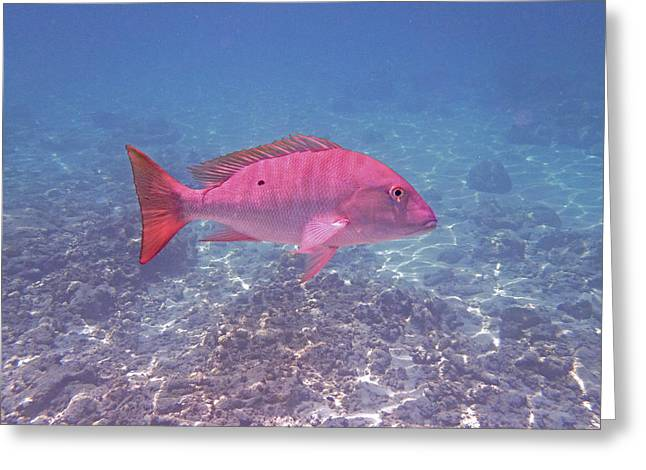 Mutton Snapper Profile Greeting Card by Carey Chen
