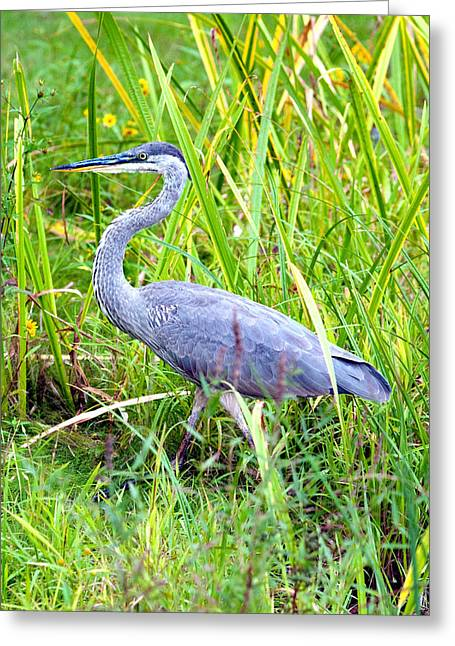 Concord Greeting Cards - My Blue Heron Greeting Card by Greg Fortier