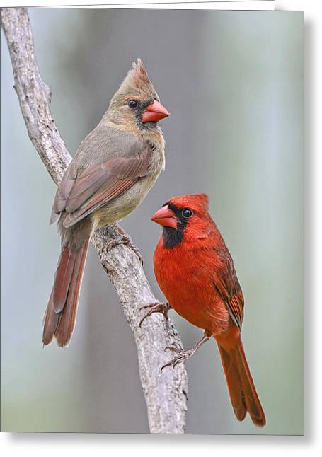 Male Northern Cardinal Greeting Cards - My Cardinal Neighbors Greeting Card by Bonnie Barry
