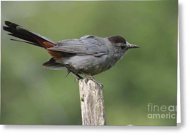 Garden Scene Photographs Greeting Cards - My Catbird Greeting Card by Randy Bodkins