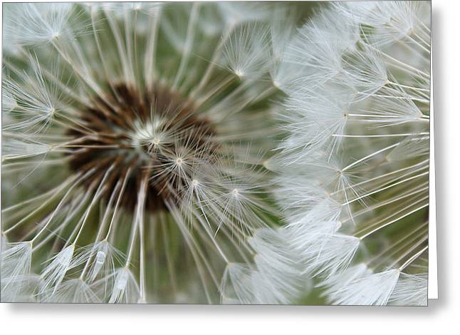 Dandelions Greeting Cards - My Divine Nature Greeting Card by  The Art Of Marilyn Ridoutt-Greene