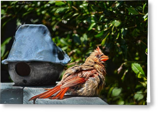 Cardinals. Wildlife. Nature. Photography Greeting Cards - My Favorite Resting Place Greeting Card by Sandi OReilly