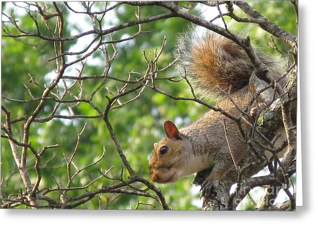 My First American Squirrel Greeting Card by Ausra Huntington nee Paulauskaite