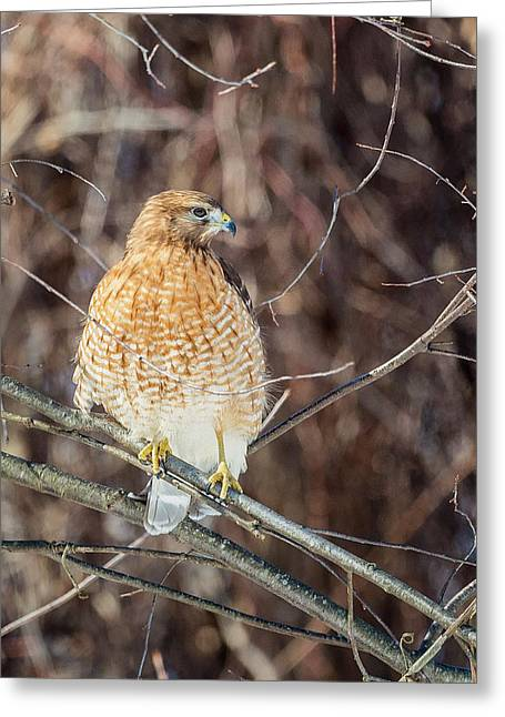 Red Shouldered Hawk Greeting Cards - My Good Side Greeting Card by Bill  Wakeley