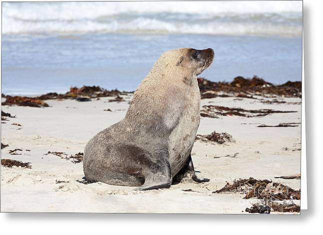Sea Lions Greeting Cards - My Good Side Greeting Card by Mike Dawson