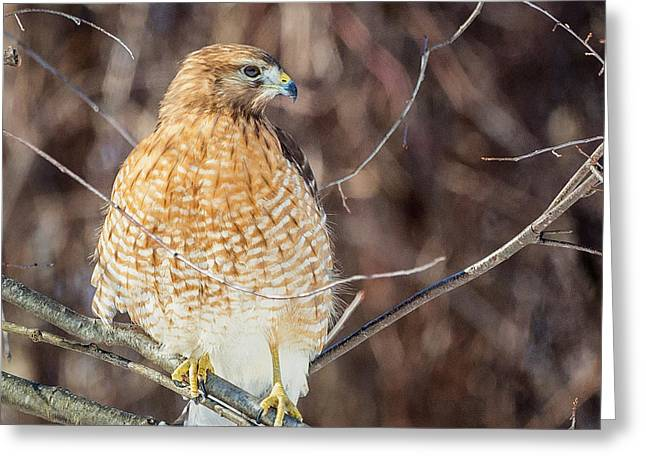Red Shouldered Hawk Greeting Cards - My Good Side Square Greeting Card by Bill  Wakeley