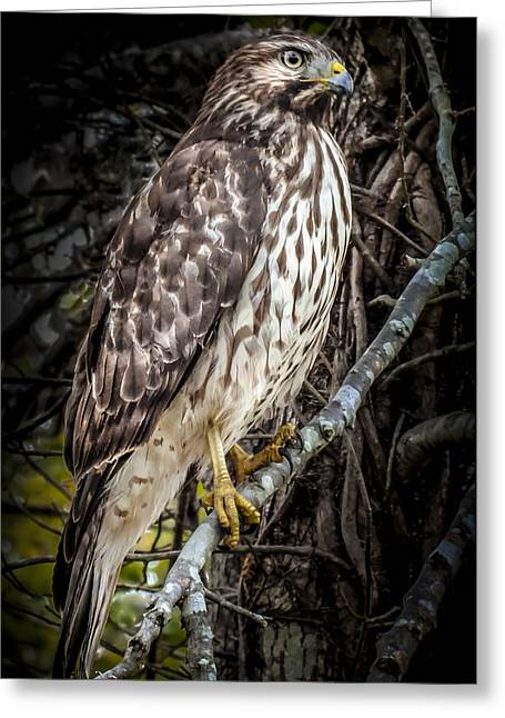 Bird In Tree Greeting Cards - My Hawk Encounter Greeting Card by Karen Wiles
