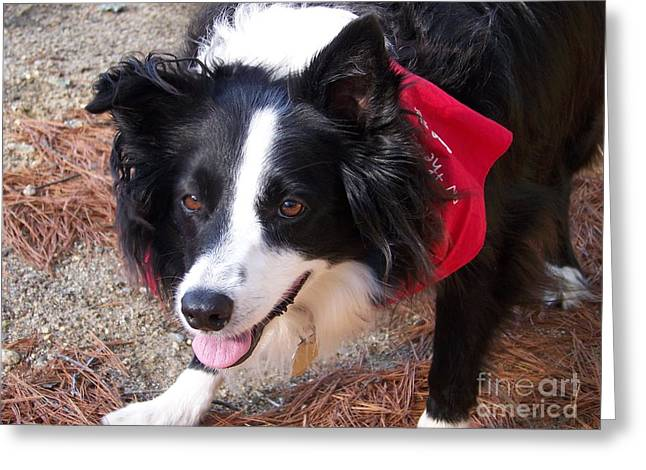 Eunice Miller Greeting Cards - MY LOVE Comes In The Form Of A Pretty Female Border Collie Greeting Card by Eunice Miller