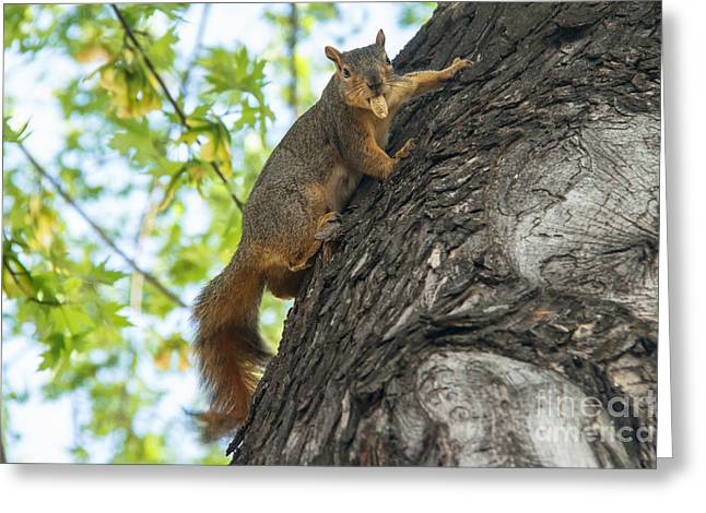 Fox Squirrel Greeting Cards - My Peanut Greeting Card by Robert Bales