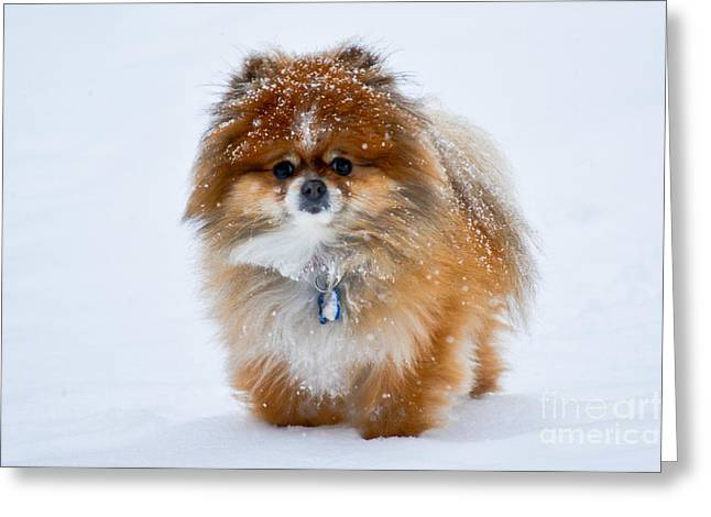 Puppies Photographs Greeting Cards - My Pomeranian Puppy Greeting Card by Gary Keesler